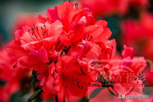 映山红娇艳绽放的美丽,红如火的花儿格外迷人,满山红花最美春色