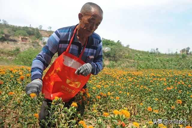 山西老人夏日采摘中药材红花,辛苦一天只采了3斤,看看是啥原因