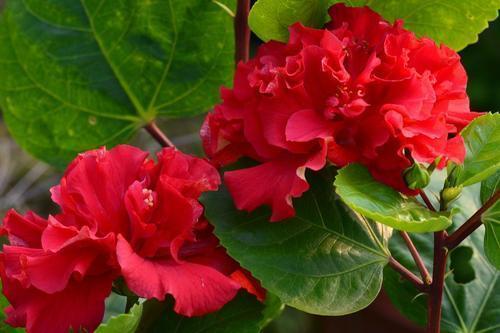 """红色亮眼适合寓意红火好运红花图片,这3种""""大红花"""",喜欢别错过"""