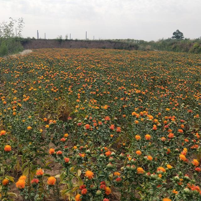 中药植物之--红花
