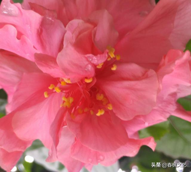 大红花摄影记:千瓣万瓣丛中开红花图片,花开富贵好事来