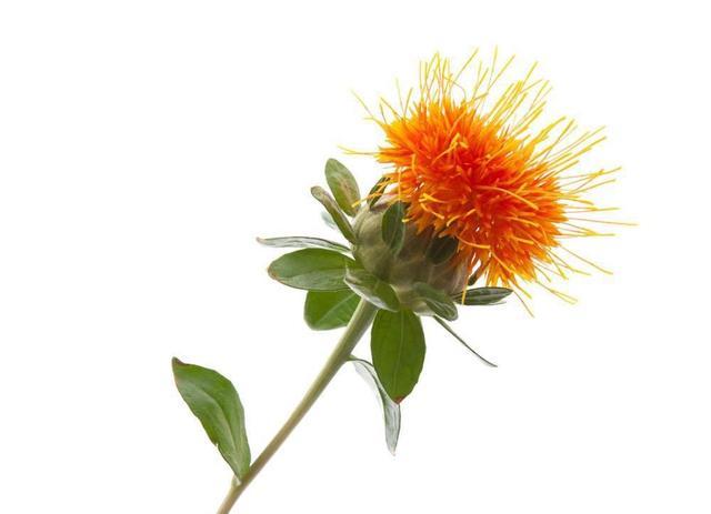 红花有哪些形态特征和功效红花图片?