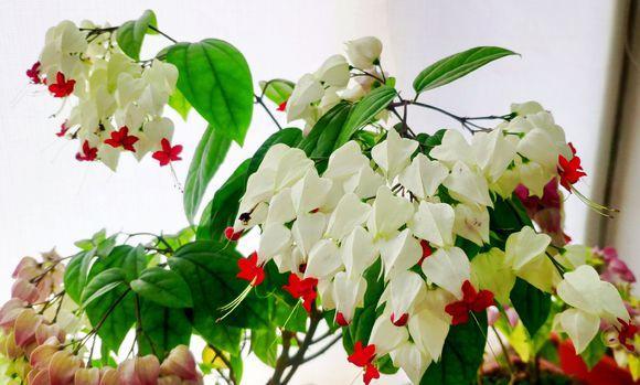这花会吐小珠子,红彤彤太喜人,开花就有好兆头