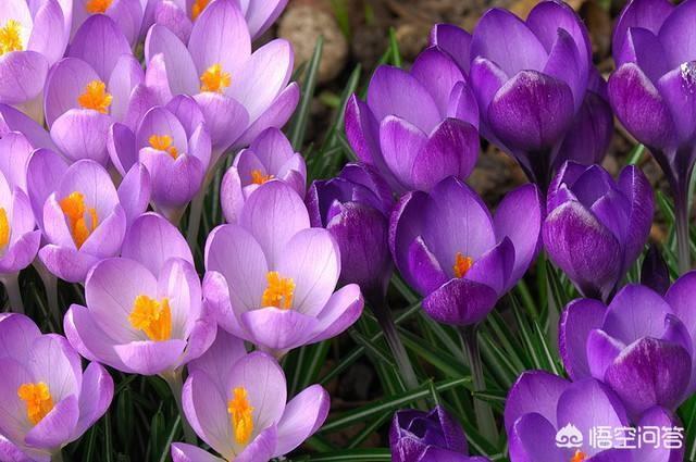 药店的藏红花很贵红花图片,一克100元,藏红花咋那么贵?怎么种植呢?