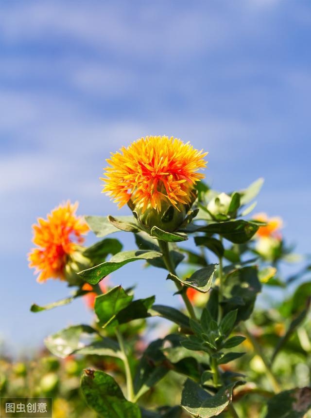 农村大片种植的红花红花图片,城里人当切花养,作用比较特殊