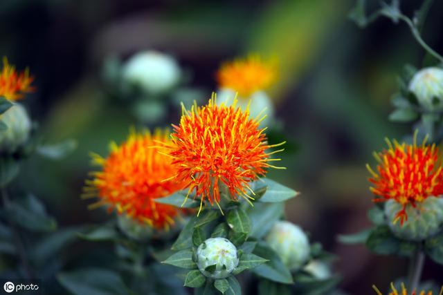 农村大片种植的红花,城里人当切花养,作用比较特殊