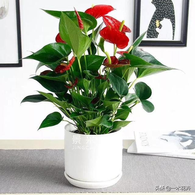 适合屋内开红花的花有哪种红花图片?如何养护?