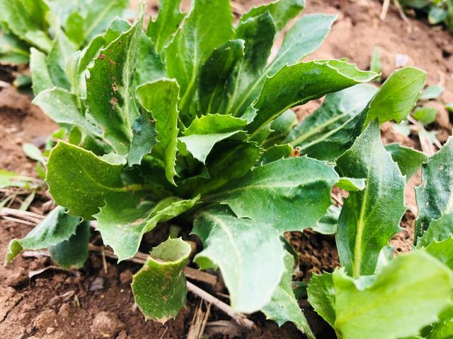 抗心脑血管病药材红花种植效益高,品种重要,科学除草也很重要