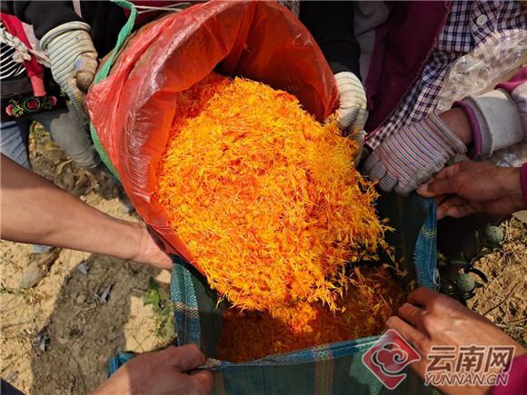 云南景东县:400余亩红花开出春天笑脸