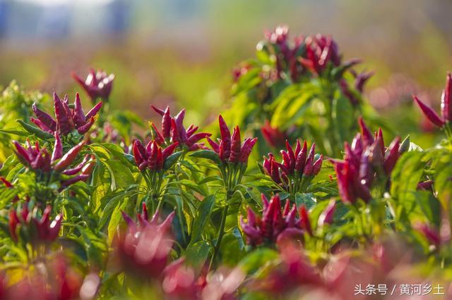 """小镇田野盛开大片""""红花""""红花图片,这一簇簇红花其实是农民种的朝天椒"""
