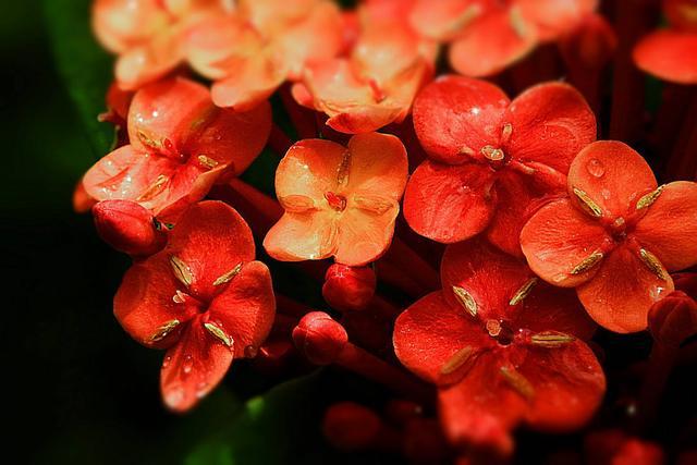 """五种红花最张扬红花图片,铺天盖地""""飞凤凰"""",一年三季,花开不败"""