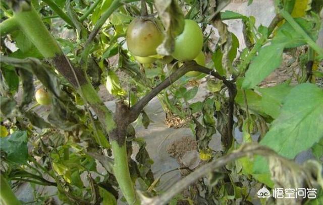 西红柿灰叶斑病有什么危害灰叶是什么中药图片大全,有什么好办法预防呢?