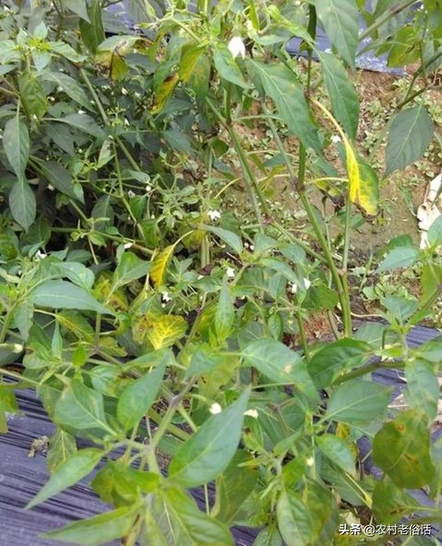 辣椒叶片变黄落叶是什么病灰叶是什么中药图片大全?