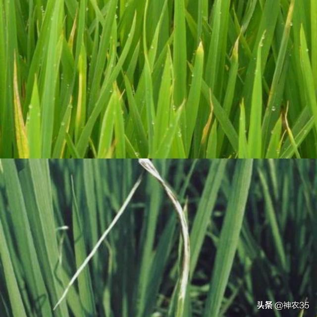 水稻苗叶尖扭曲干尖,叶色浅灰色或淡褐色,是什么病害?如何防治?