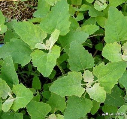 都知道农村野生土灰条菜能吃灰叶是什么中药图片大全,那么洋灰条菜(大叶)的能吃吗?