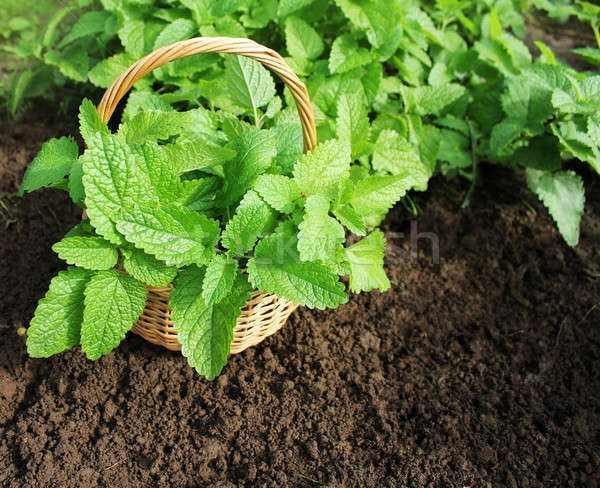 有关食用薄荷品种中国有几种?比较看好哪些食药两用中草药种植?