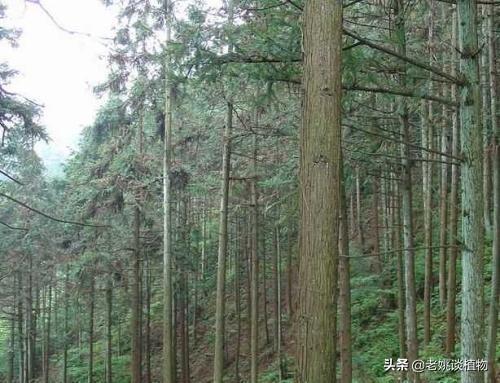 杉树的种类:请您告诉我杉树有几种?哪些杉树最珍贵?