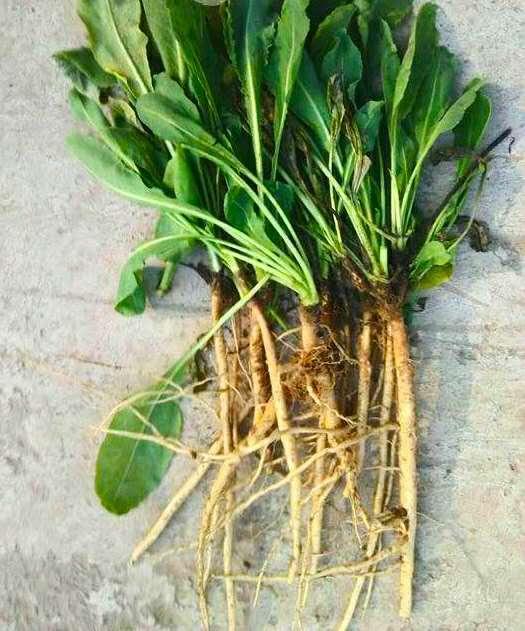 盘点同植株中药材(二):板蓝根与大青叶板蓝根的根图片大全,菘蓝的根和叶(图说)