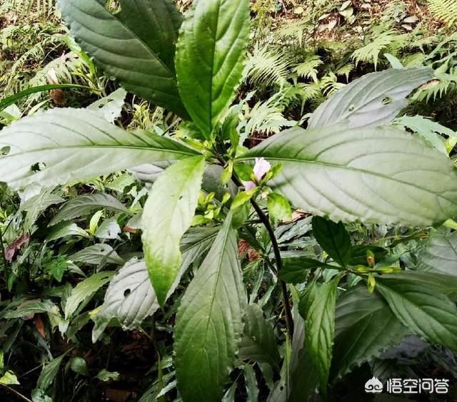 板蓝根是哪个植物根?大叶青是什么?有何作用?