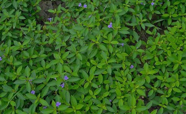 南板蓝根板蓝根的根图片大全,为爵床科植物马蓝的干燥根和根茎