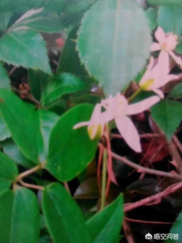 威灵仙的茎和叶有什么功效和作用?