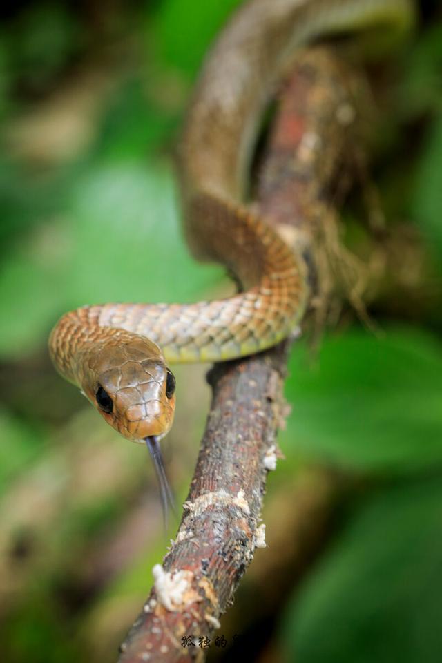 滑鼠蛇,凶猛的无毒蛇,功效神奇
