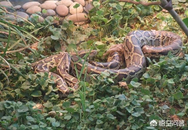 哪位蛇类专家能解答一下蛇为什么怕竹竿老鼠蛇的功效与作用?为什么说竹竿是蛇的舅舅?