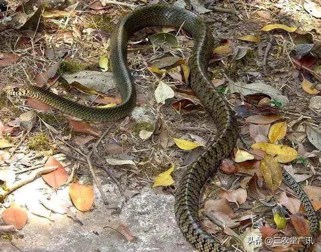 农村人说的灰鼠蛇和滑鼠蛇是不是一种蛇老鼠蛇的功效与作用?一般生长在哪里?
