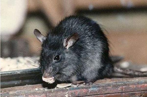 老鼠肉的功效与作用老鼠蛇的功效与作用?