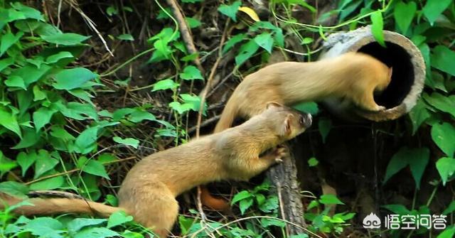 农村的黄鼠狼是不是保护动物呢?有人说黄鼠狼可入药老鼠蛇的功效与作用,那么有哪些功效和作用呢?