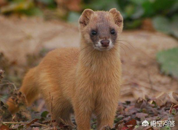 农村的黄鼠狼是不是保护动物呢?有人说黄鼠狼可入药,那么有哪些功效和作用呢?