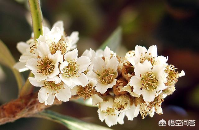 农村老人喜欢收集枇杷花黄什么花图片是药材,枇杷花有什么作用呢?