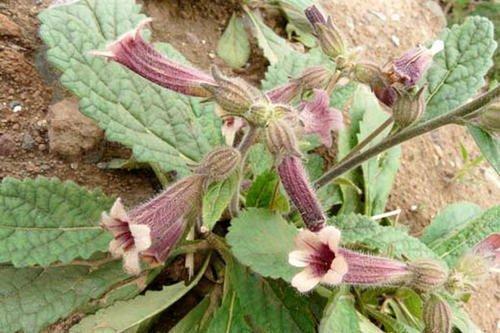 一种野草价值高黄什么花图片是药材,枝头开出喇叭花,地位高名叫地黄