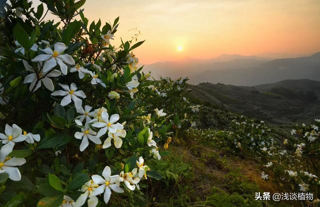 南方农村常见的黄栀子是怎样的植物?有什么用途价值?