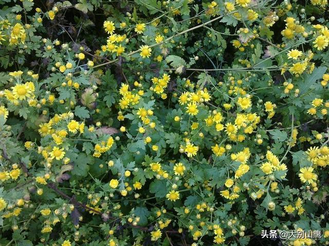 可以消肿解毒的野菊花,该如何正确种植?