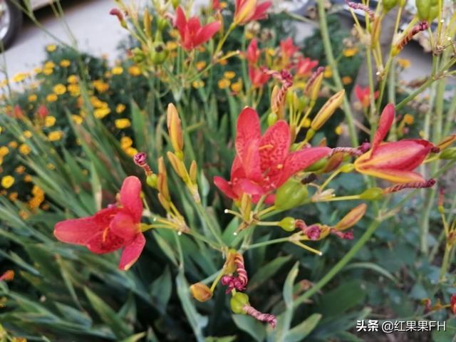 美艳殷红的射干花除了有欣赏价值外黄什么花图片是药材,还有重要的医药价值