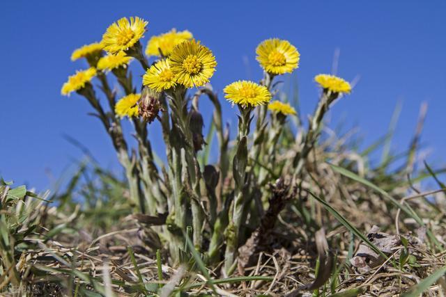 款冬花,常用于各类咳嗽,尤其是伤风感冒后咳嗽老不好