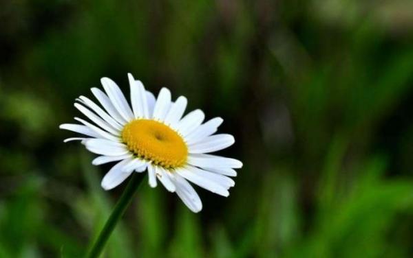 白菊花和黄菊花有什么区别