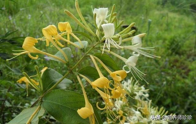 """花为金黄色,被称为""""天然抗生素"""",清热解毒效果好,谁用谁好!"""