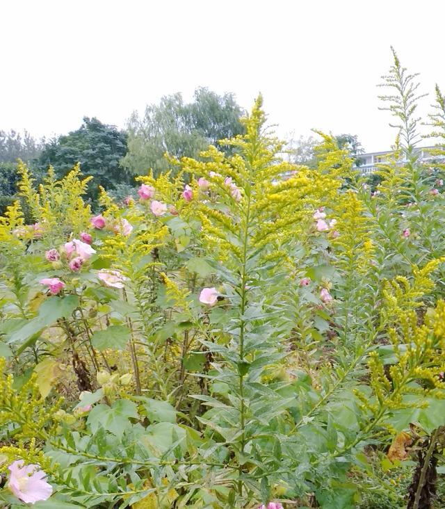 别再弄错了,真正的一枝黄花是中药,有害物种那是外来的!