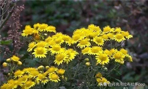 农村常见的野菊花有什么样的利用价值黄什么花图片是药材?