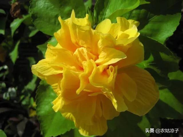 在家里养黄朱槿好吗?