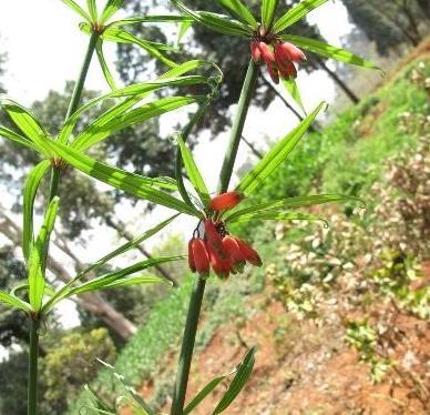 红花黄精和白花黄精有什么区别?