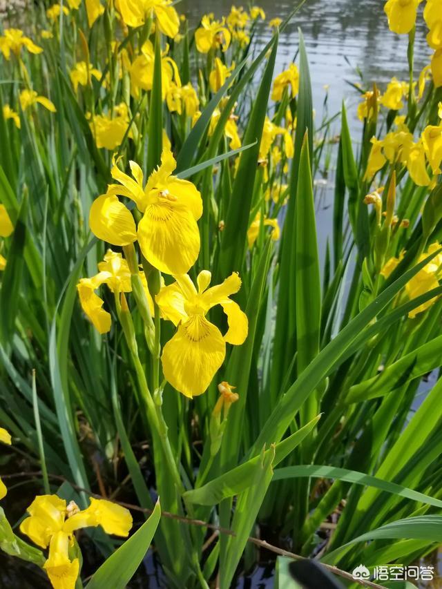 黄菖蒲是一种什么样的植物黄什么花图片是药材,怎样栽植好看?