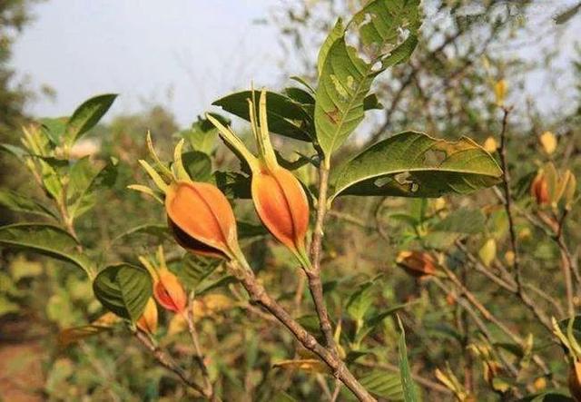 山上经常可以看到的黄栀子黄什么花图片是药材,好养又好看,花果都可观赏