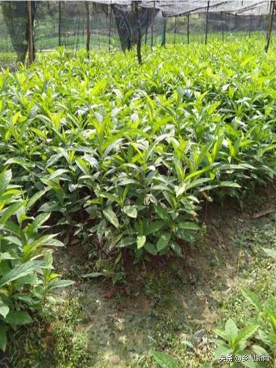 中药材黄花倒水莲的种植前景如何?