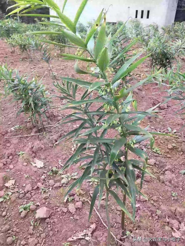 农村的山上到处都有野生黄精,如何从叶子和株型上辨认出真假?