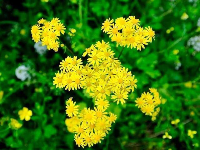 野菊花什么时候采摘最适宜?野菊花有什么药用价值?