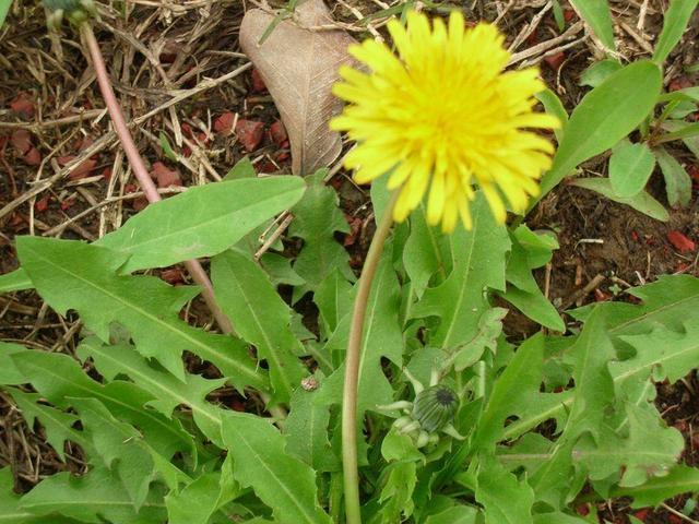 你知道那些野生植物好做药好吃?