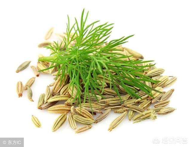 小茴香有哪些形态特征和功效中药小茴香图片?
